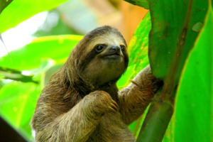 Sloth in Costa Rica