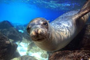 Sea lion underwater, Galapagos
