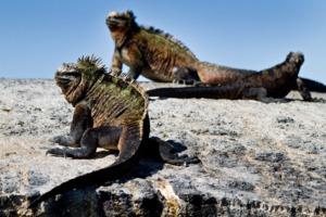 Marine iguanas, Galapagos