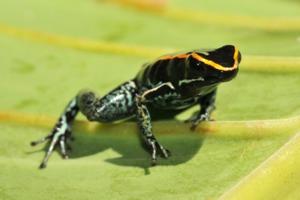 Golfo Dulce poison dart frog, Costa Rica
