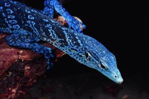 Blue monitor lizard, Papua New Guinea