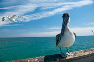 A pelican on the beach at Fort Lauderdale