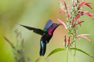 Purple throated carib, Saint Lucia