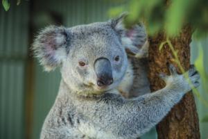 Koala in Sydney