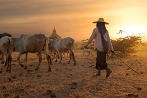 Herder in Bagan, Myanmar