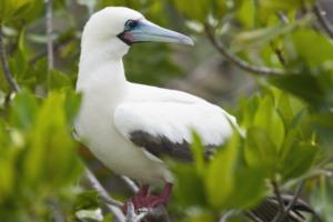 Red-footed booby, Genovesa Island, Galapagos