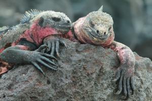 Marine iguanas on Española island, Galapagos