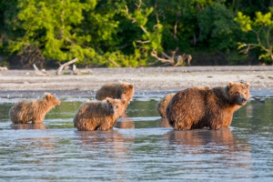 Bear and cubs in Kamchatka, Russia