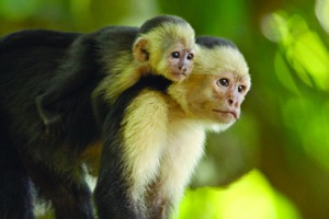 White throated capuchin monkeys in Costa Rica