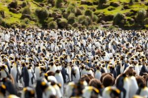 King penguins on Macquarie Island, Australia