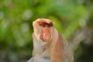 Proboscis monkey in Sabah, Malaysia