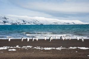 Gentoo penguins on Deception Island, Antarctica