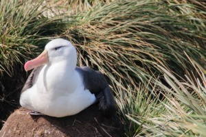 Black browed albatross in the Falkland Islands