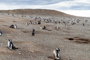 Magellanic penguin colony on Magdalena Island, Chile