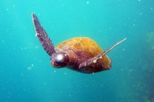 Turtle, Galapagos