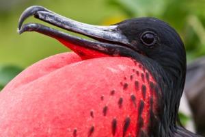 Great frigate bird, Galapagos