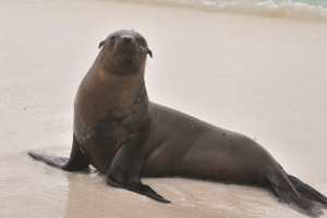 Seal on the beach, Galapagos