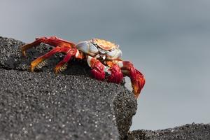 Sally Lightfoot crab on Sombrero Chino Island, Galapagos