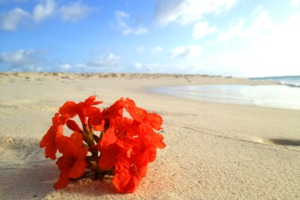 Flower on Eagle Beach, Aruba