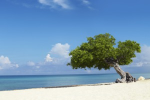 Fofoti tree on Eagle Beach, Aruba
