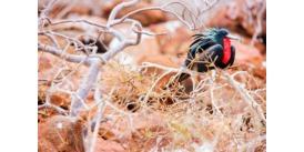 Galapagos wildlife cruises - Frigate bird on North Seymour Island