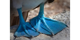 Galapagos expedition cruising guide - Blue footed booby