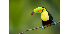 Encounter colourful wildlife including toucans on a Costa Rica expedition cruise