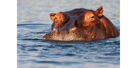 Africa river cruise guide - Hippo in the Chobe