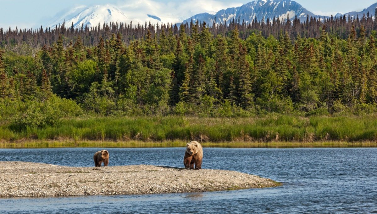Grizzle bears in Katmai National Park, Alaska