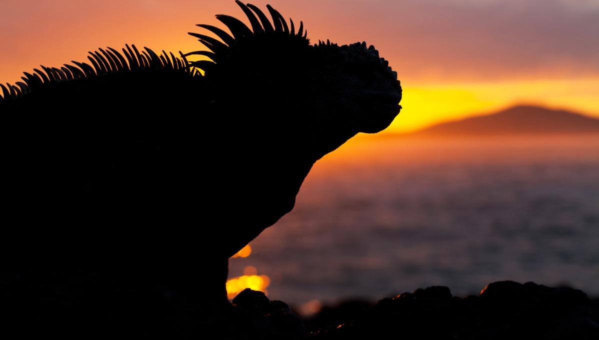 Marine iguana silhouette, Galapagos