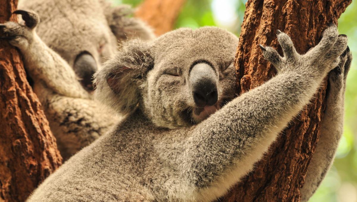 Koala sleeping, Australia