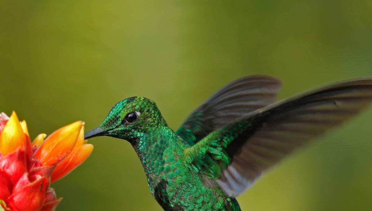 Green hummingbird, Costa Rica