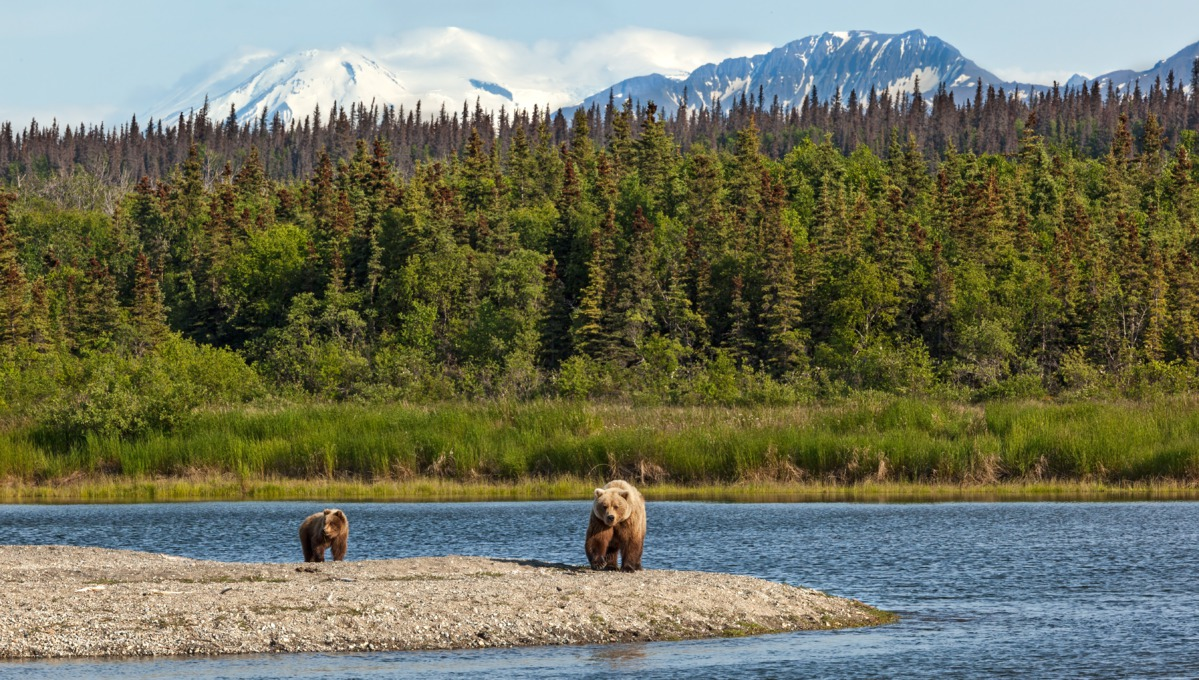 Grizzly bears in Katmai National Park, Alaska