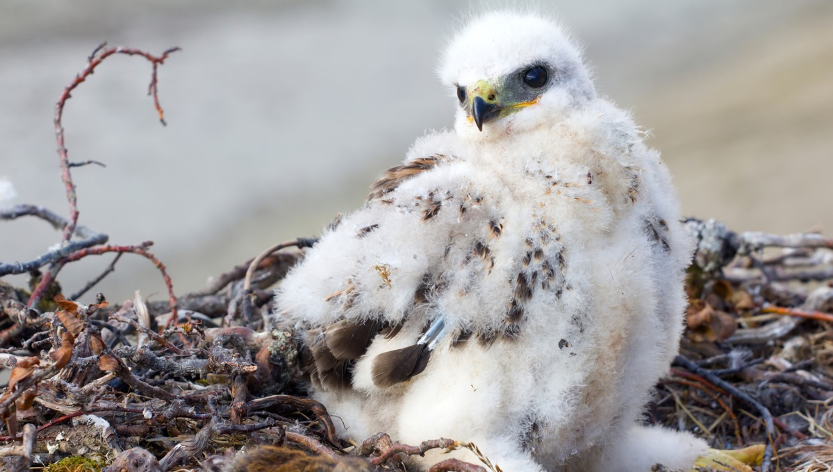 Rough legged buzzard chick on Novaya Zemlya, Russia