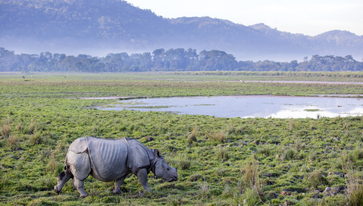 Rhinoceros in Kaziranga National Park, Brahmaputra River, India