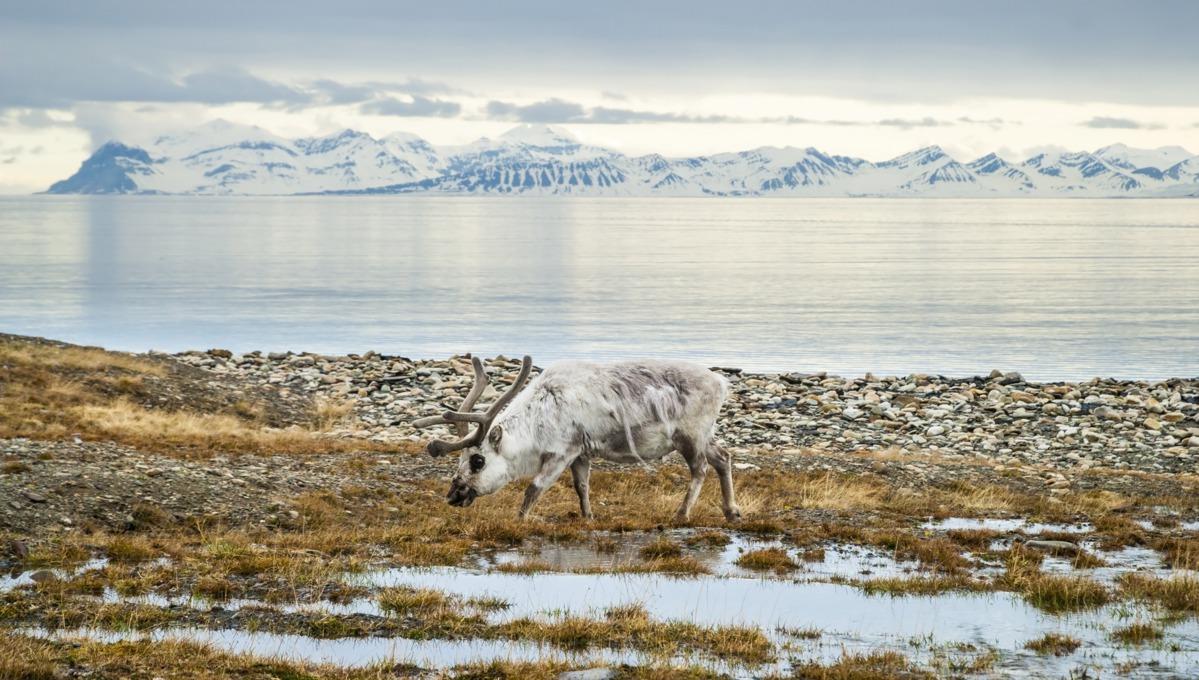 Reindeer in Svalbard, Norway
