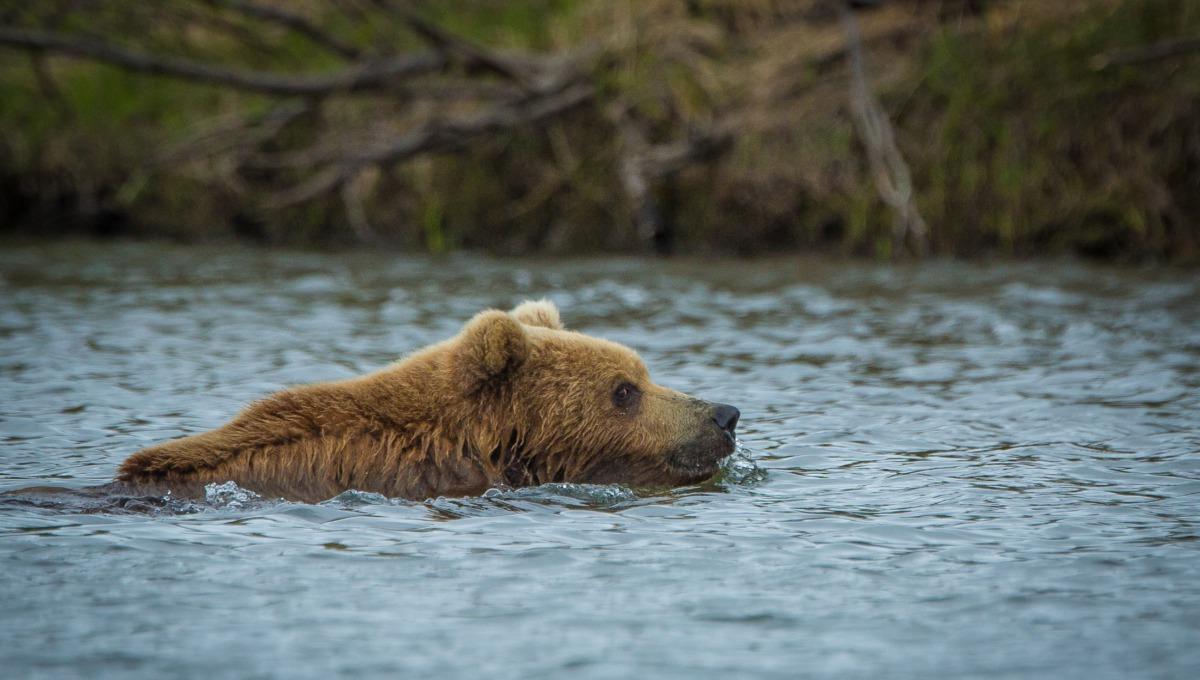 Kamchatka brown bear in Zhupanova River, Russian Far East