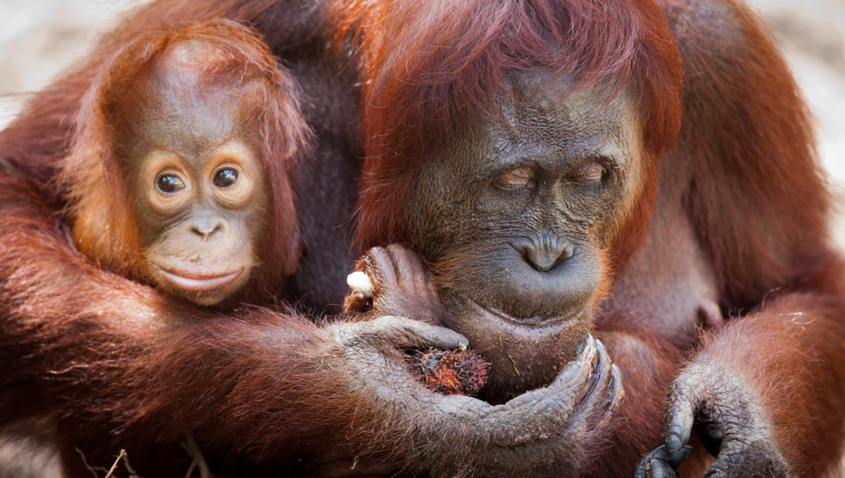 Orang utans at Camp Leakey, Kalimantan, Borneo