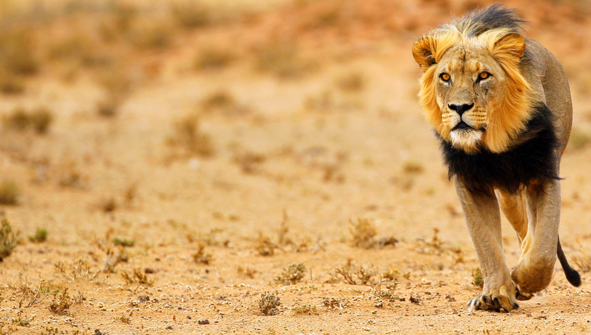 South Africa cruises - Black maned lion