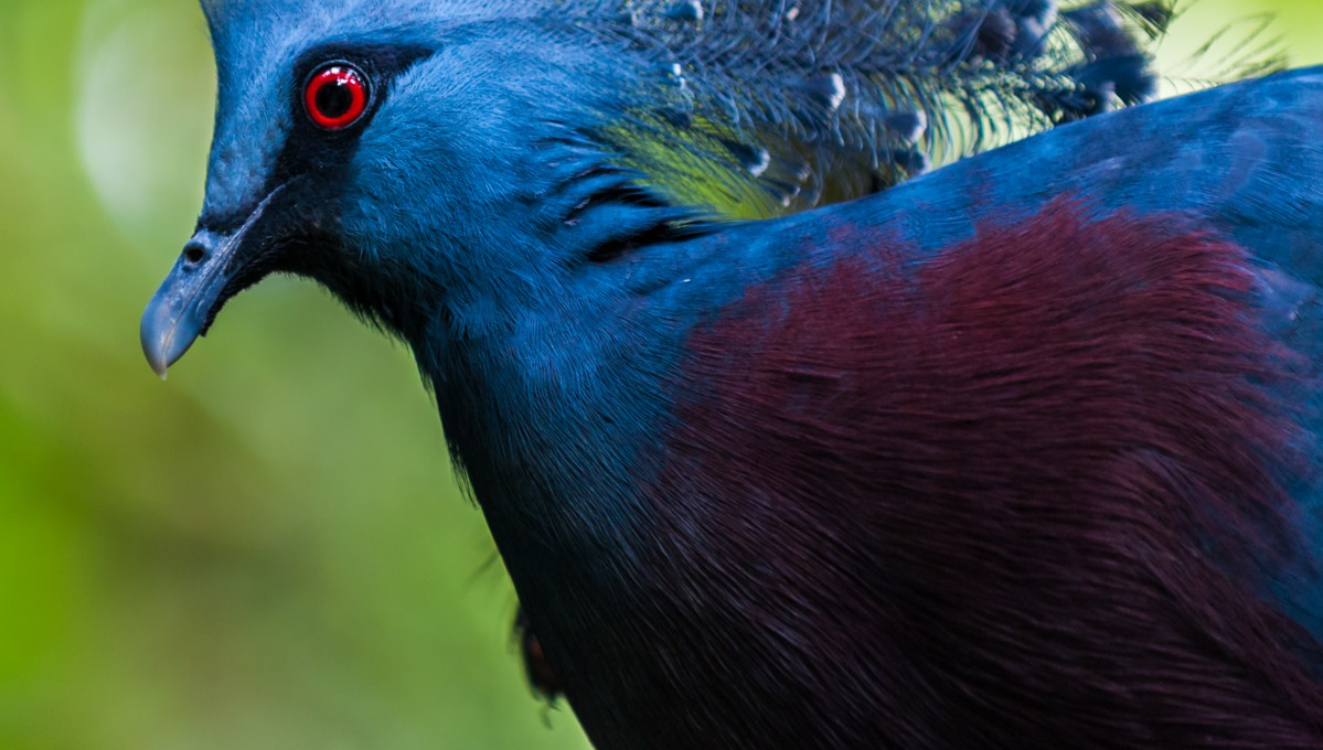 Papua New Guinea cruises - Victoria crowned pigeon