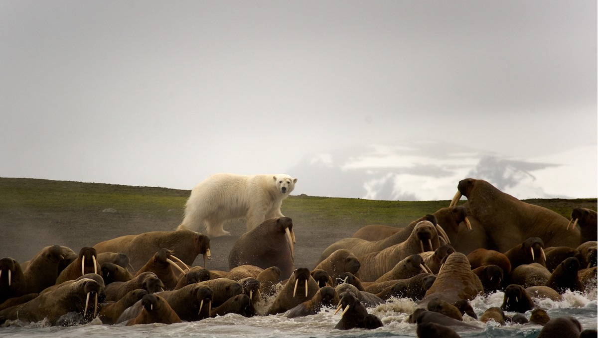 Arctic & Svalbard expedition cruises - Polar bear and walrus