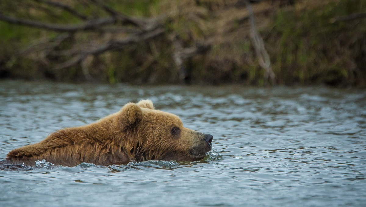 Russian Far East expedition cruises - Kamchatka brown bear