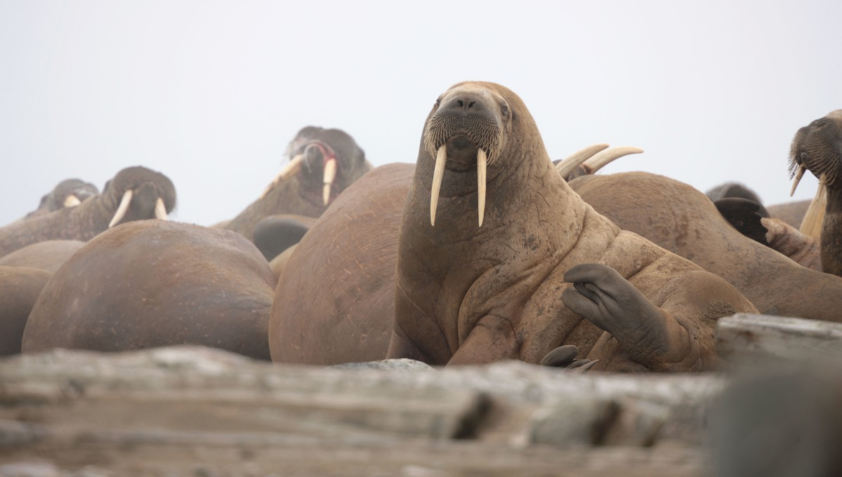 Walruses in Svalbard, one of the stars of Blue Planet II you can see on an expedition cruise