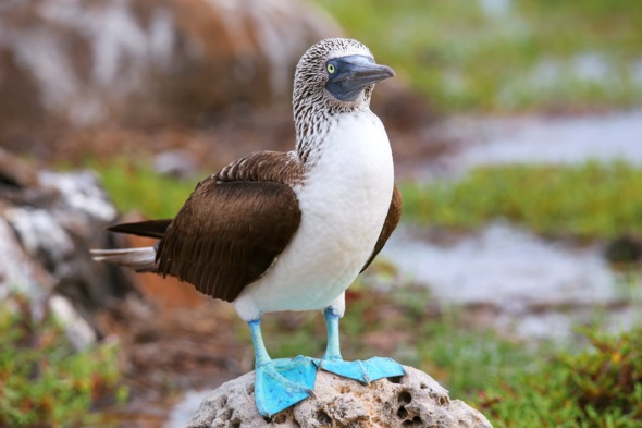 Blue footed booby on North Seymour Island, Galapagos