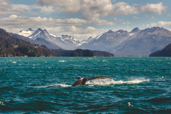 Humpback whale off Homer, Alaska