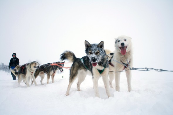 Huskies in Norway