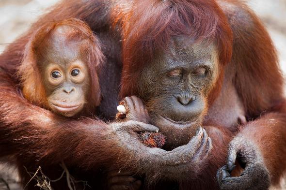 Orangutans in Camp Leakey, Kalimantan