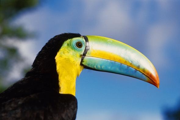 Toucan in Panama