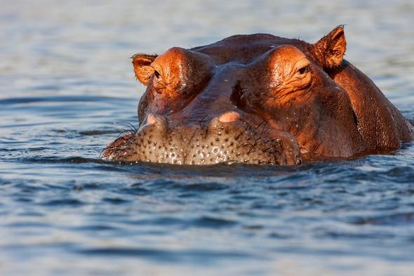 Hippo in the Chobe River, Botswana