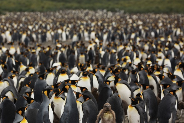 King penguins in South Georgia, as seen in Blue Planet II